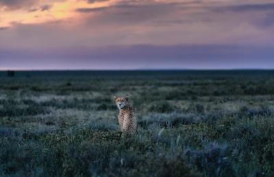 chris schmid sony alpha 7RII lone cheetah stares back at the camera