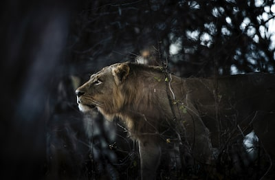 chris schmid sony alpha 7RII lion in zambia looking graceful in the jungle